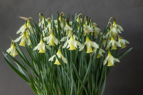 Narcissus moschatus 'Nadder Moon' (Exhibitor: Ian Robertson)
