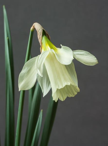 Narcissus moschatus (Exhibitor: Jon Evans)