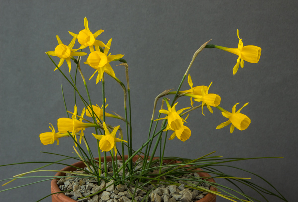 Narcissus triandrus x. bulbocodium (Exhibitor: Bob & Rannveig Wallis)