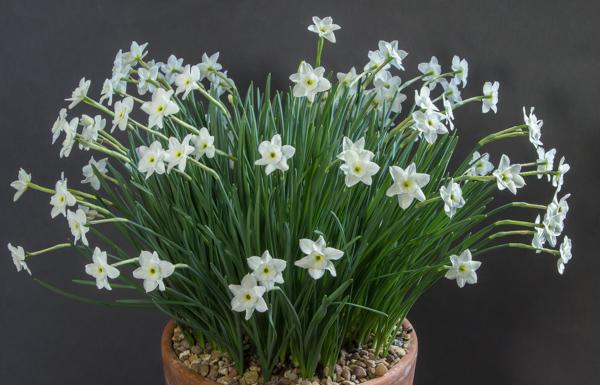 Narcissus watieri (Exhibitor: Nigel Fuller)