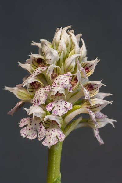 Neotinea lactea (Exhibitor: Barry Tattersall)