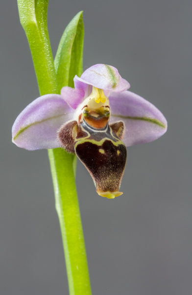 Ophrys lapethica (Exhibitor: Barry Tattersall)