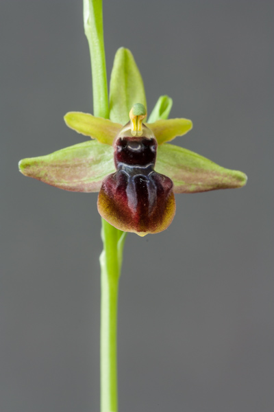 Ophrys mammosa (Exhibitor: Steve Clements)