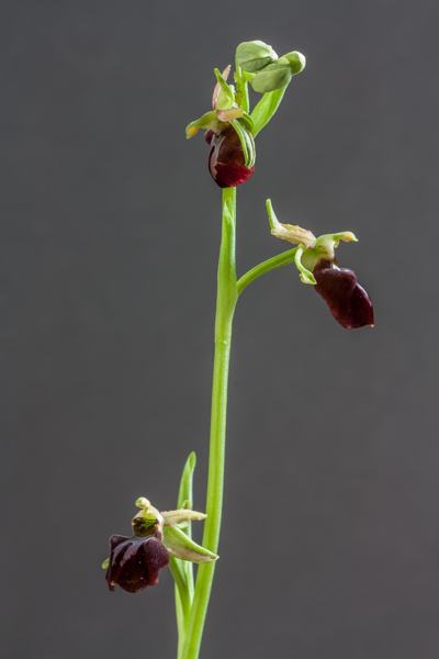 Ophrys sphegodes (Exhibitor: Steve Clements)