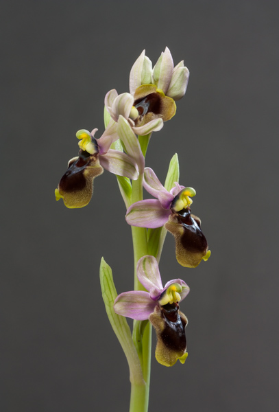 Ophrys tenthredinifera (Exhibitor: Barry Tattersall)