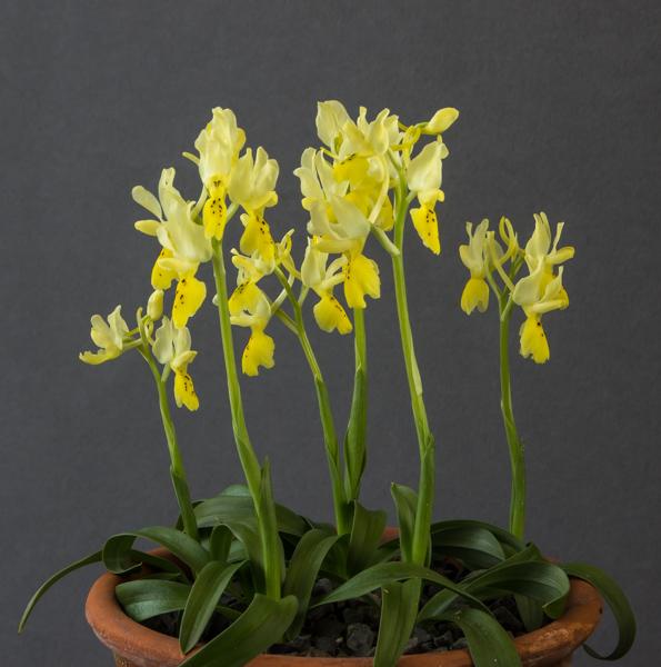 Orchis pauciflora (Exhibitor: Bob & Rannveig Wallis)