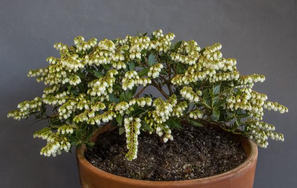 Pieris japonica 'William Buchanan' (Exhibitor: Eric Jarrett)