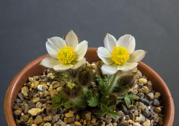 Pulsatilla vernalis (Exhibitor: Mavis & Sam Lloyd)