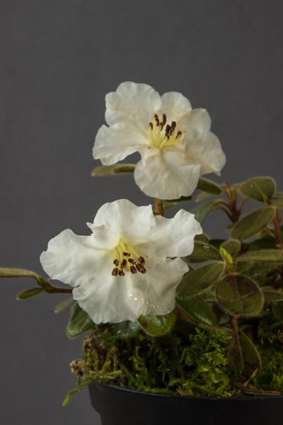 Rhododendron leucaspis (Exhibitor: Dick Fulcher)