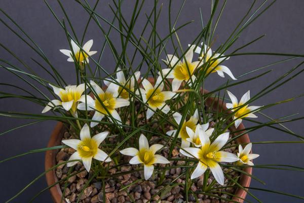 Romulea bulbocodium leichtlinii (Exhibitor: Ian Robertson)