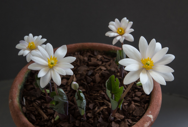 Sanguinaria canadensis pink form (Exhibitor: Ben & Paddy Parmee)