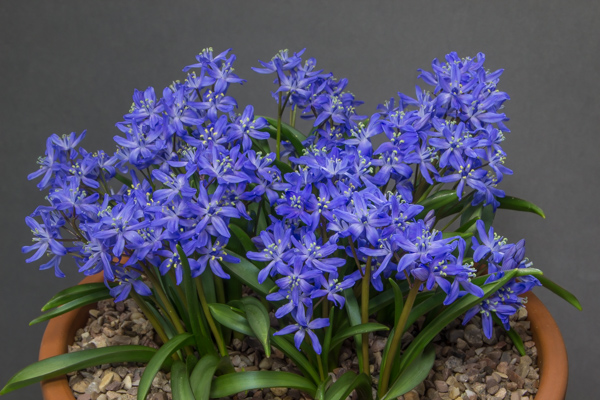 Scilla x allenii 'Fra Angelico' (Exhibitor: Don Peace)