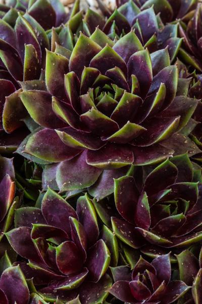 Sempervivum 'Quintessence' (Exhibitor: Howard Wills)