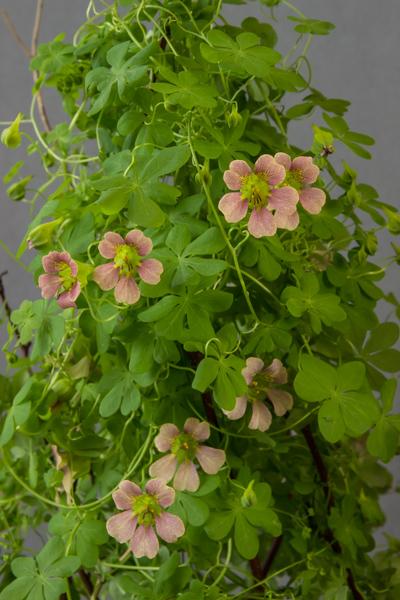 Tropaeolum hookerianum subsp. austropurpureum hybrid (Exhibitor: Jon Evans)