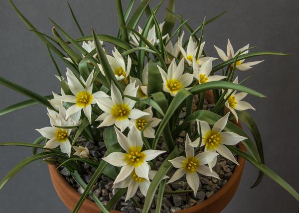 Tulipa cretica 'Chania' (Exhibitor: Lee & Julie Martin)