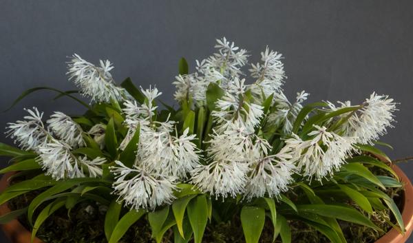 Ypsilandra thibetica (Exhibitor: Diane Clement)