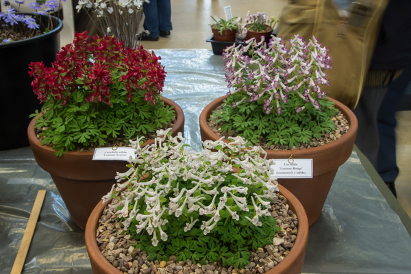 3 large pans of Corydalis (Exhibitor: Don Peace) Loughborough plant show