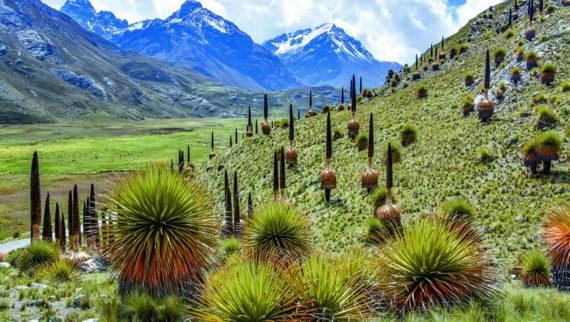 Class One (Overall Competition Winner): Harry Jans - Puya raimondii. Carretera Pastoruri Pass to Pastoruri at 4,245m, Peru (April 2018)
