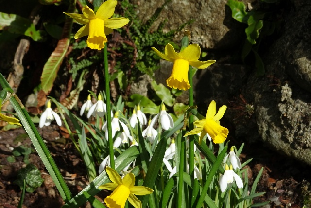 Narcissus 'Tete-a-Tete' and Galanthus nivalis 'Howick Yellow'