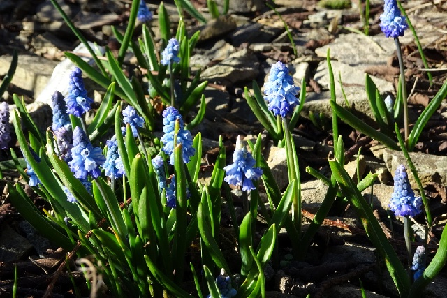 Hyacinthella libanotica