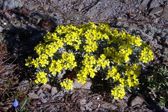 Fibigia triquetra
