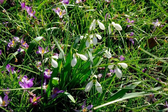 Galanthus species growing in Elizabeth Strangman's garden.