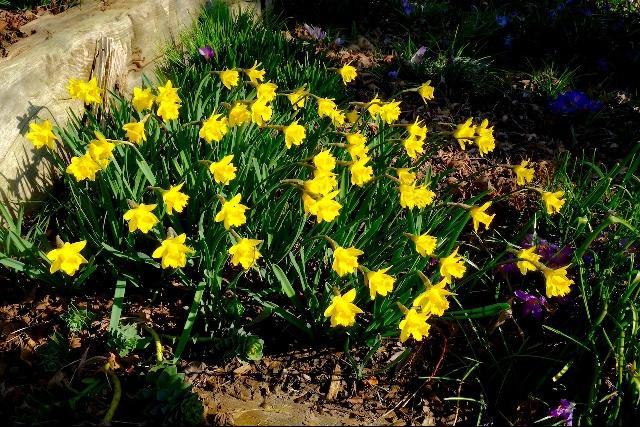 Narcissus asturiensis 'Navarre'