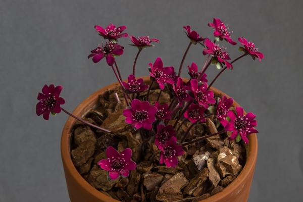 Hepatica japonica x. Tessin (Exhibitor: Bob Worsley)