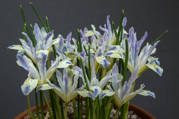 Iris 'Painted Lady' (Exhibitor: Pauline Carless)