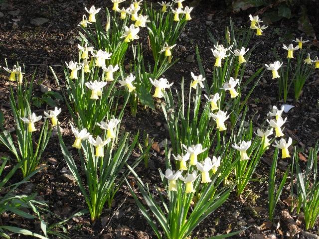 Narcissus 'Surfside'