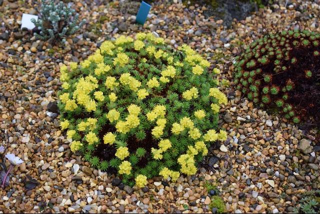 Saxifraga juniperinifolia