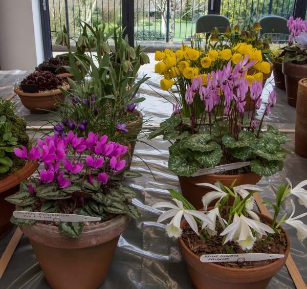 Six small pans of rock plants (Exhibitor: Ian Robertson)