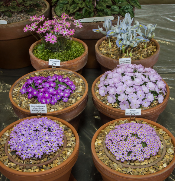 Small six pan rock plants (Exhibitor: Paul & Gill Ranson)