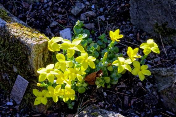 Sebaea thomasii in north wales garden