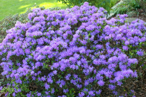 Dwarf rhododendrons in north wales garden