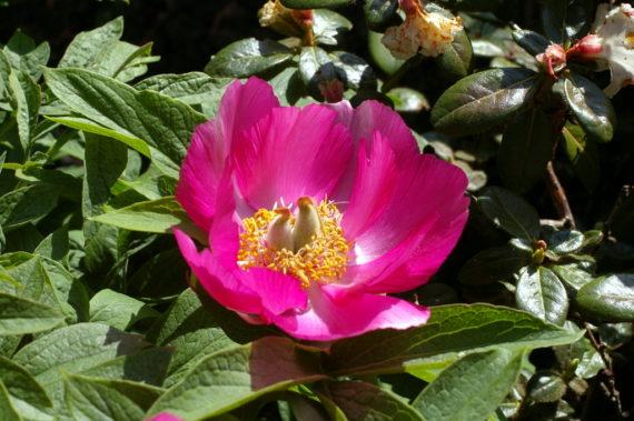 Peonies in north wales garden