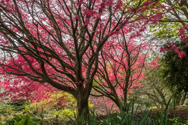 Acer palmatum 'Corallinum', Wildside Garden Nursery, Devon