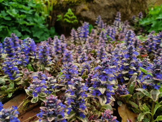 Ajuga reptans 'Delight' with pink and white leaves