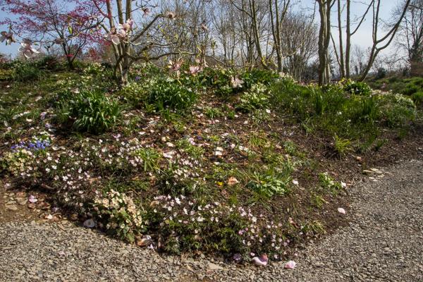 Anemone nemorosa, Wilside Garden Nursery, Devon