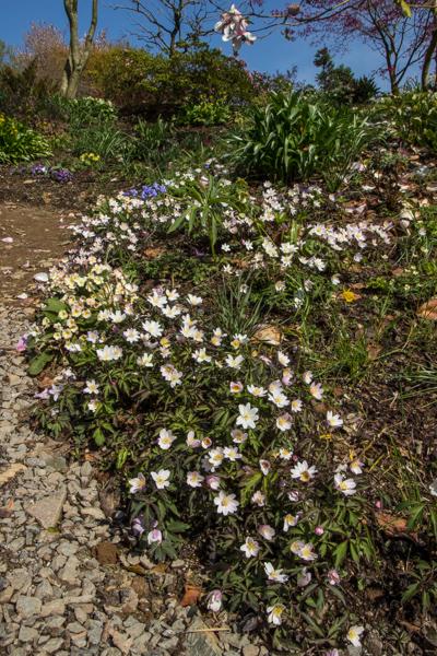 Anemone nemorosa 'Tinney's Blush', Wildside Garden Nursery, Devon