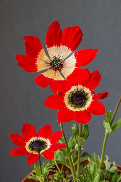 Anemone pavonina (Exhibitor: Andrew Ward)