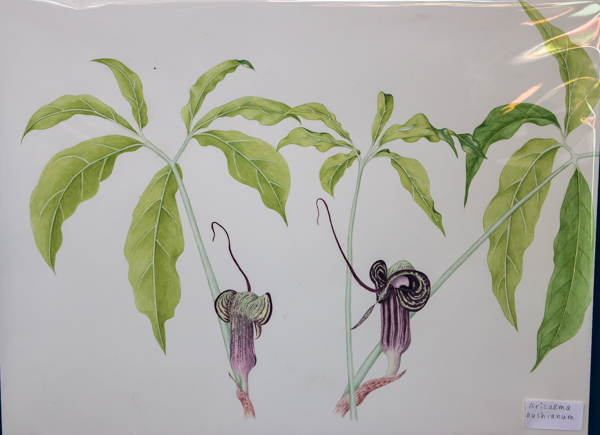Arisaema kiushianum (Exhibitor: Rannveig Wallis) botanical art