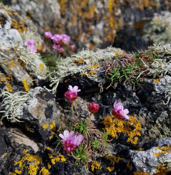Armeria maritima growing on Anglesey island