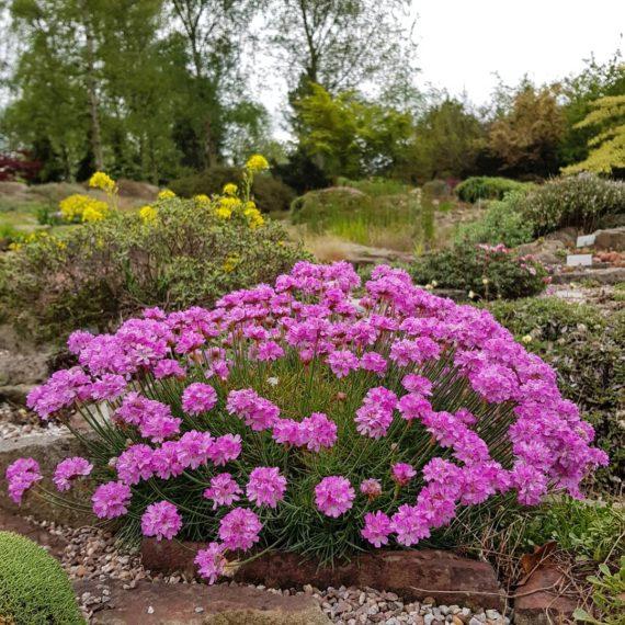 Armeria in the Alpine Garden Society Pershore garden