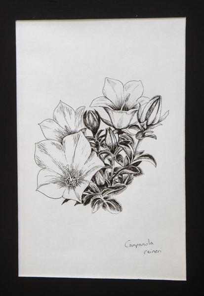 Campanula raineri (Exhibitor: Gemma Hayes) botanical art
