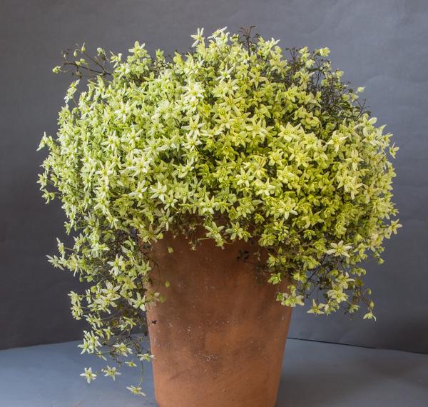 Clematis marmoraria hybrid (Exhibitor: Michael Sullivan)