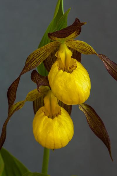 Cypripedium pubescens x. segawei (Exhibitor: Bob & Rannveig Wallis)