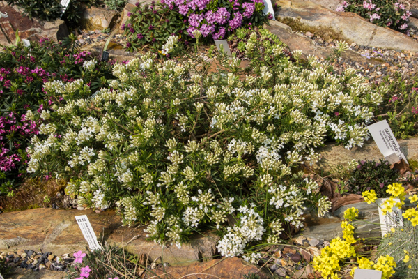 Daphne cneorum alba