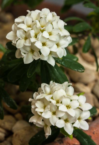 Daphne juliae f. alba (Exhibitor: Robin White)