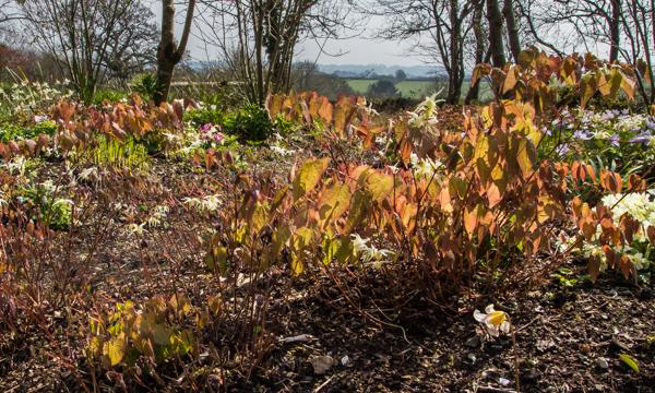 Epimedium, Wildside Garden Nursery, Devon